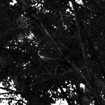 Pássaro canta no alto da árvore, no centro de Iaçu. Foto: Natália Silva