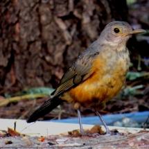 Sábia-laranjeira