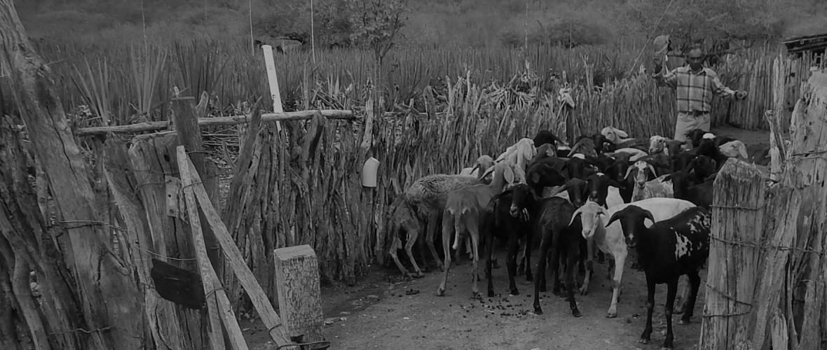 O rebanho é formado por cabras e ovelhas mestiças. A maioria é criada no fundo de pasto. Foto: Paulo Oliveira