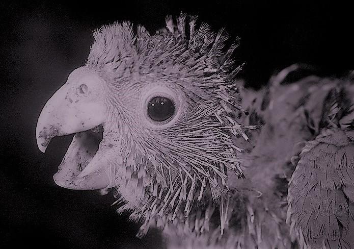 A mentira do papagaio que nasceu falando é contada até hoje pelos antigos moradores. Reprodução da internet