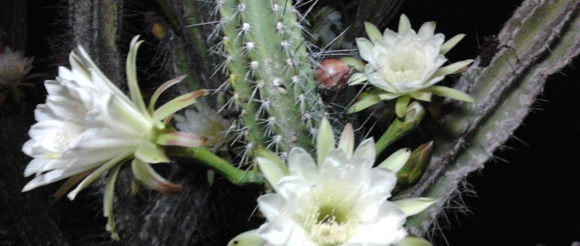 Flor de mandacaru. Reprodução