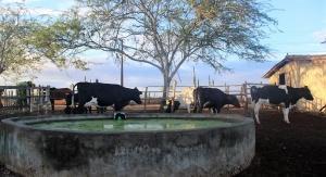 O gado de João. Foto: Camila Gabrielle