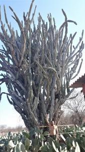 A planta tem altura equivalente a quatro homens com os braços esticados. Foto: Paulo Oliveira