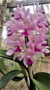 Orquídeas durante a floração. Foto: Divulgação