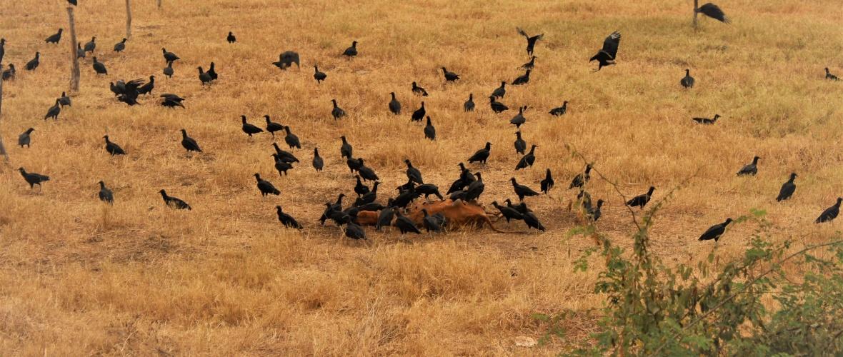 Alguns abutres dão bicadas no boi, tentando rasgar o couro. Foto: Paulo Oliveira.