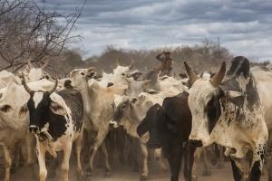 Vaqueiro com gado em fundo de pasto. Foto: Thomas Bauer/CPT